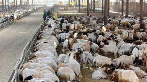 خبير يصف سماح النظام بتصدير الأغنام و الماعز  بالكارثة
