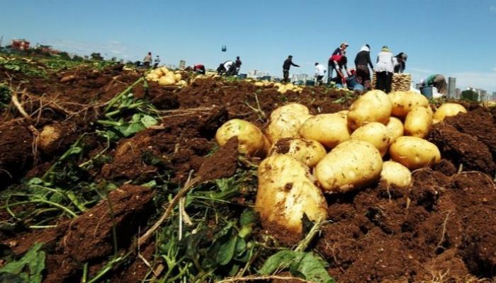 النظام يمنع تصدير البطاطا مع أن سوريا لا تصدرها ..!