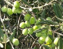 الزراعة في حكومة النظام  تعلن عن موعد مبكر لقطاف الزيتون ...تعرف إلى السبب